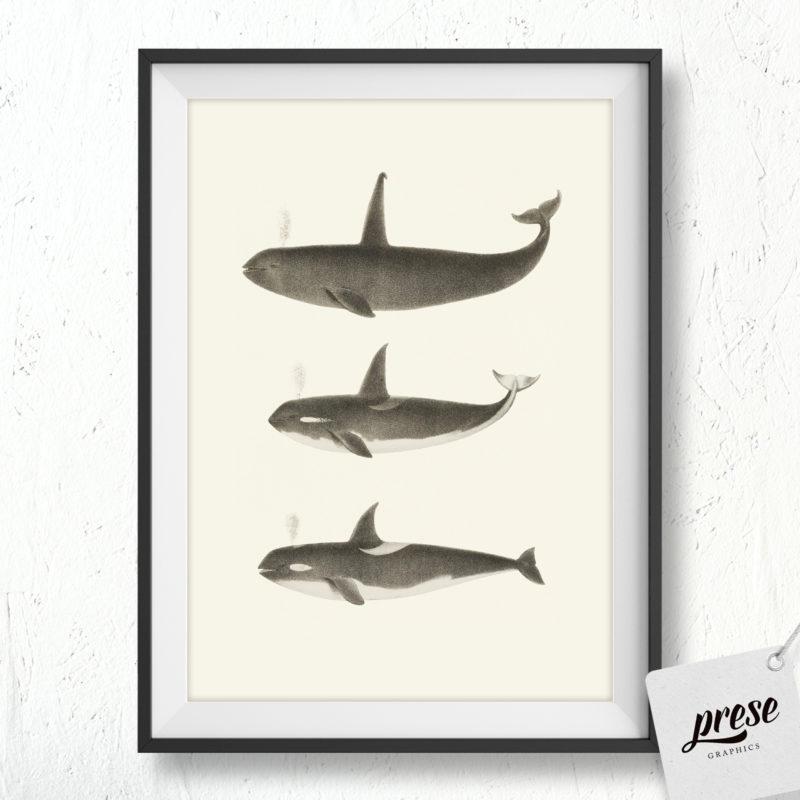 オルカ、シャチ イラストポスター